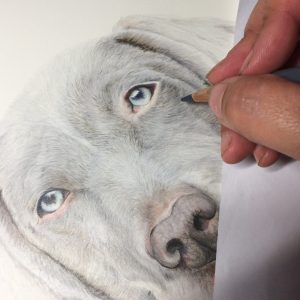 Weimaraner Drawing Work in Progress