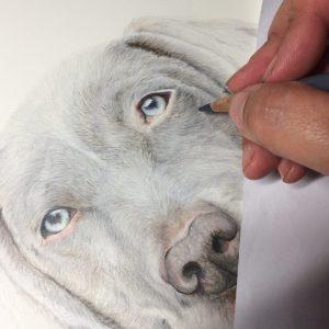 Weimaraner Drawing Work in Progress