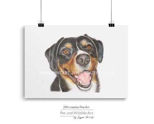 Appenzeller sennenhund drawing