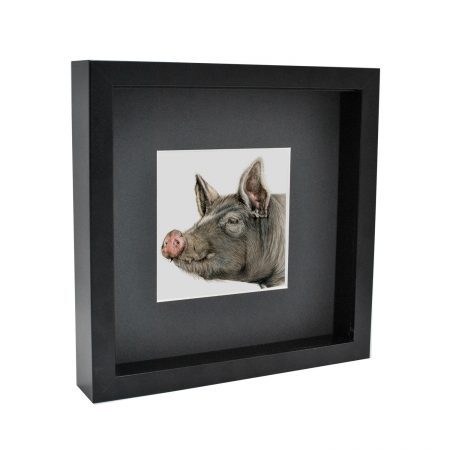 Box framed Berkshire Pig