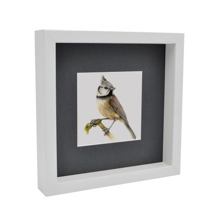 Box framed crested Tit