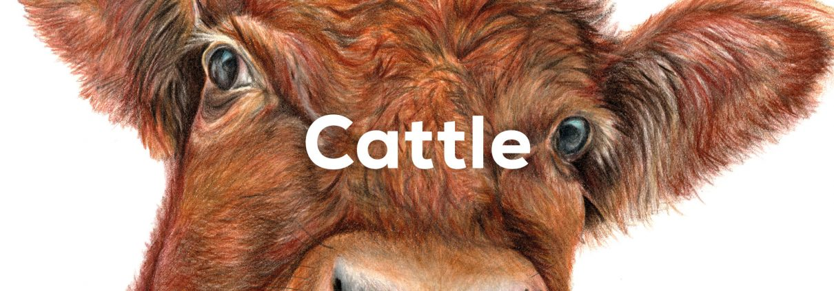 Cattle Caterory