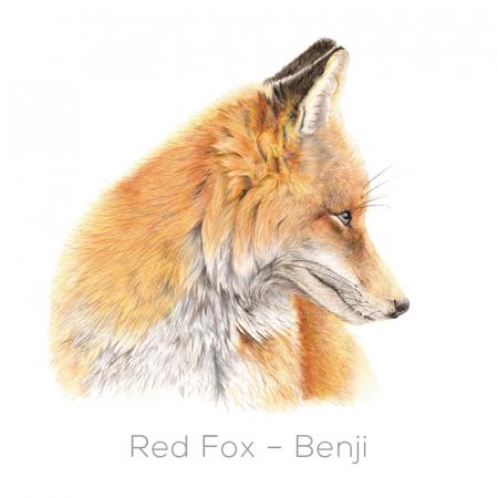 Fox - Benji