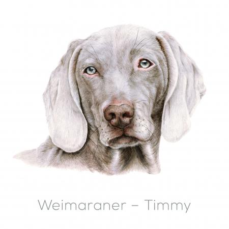 Weimaraner – Timmy