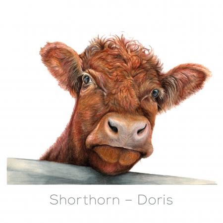 Shorthorn – Doris