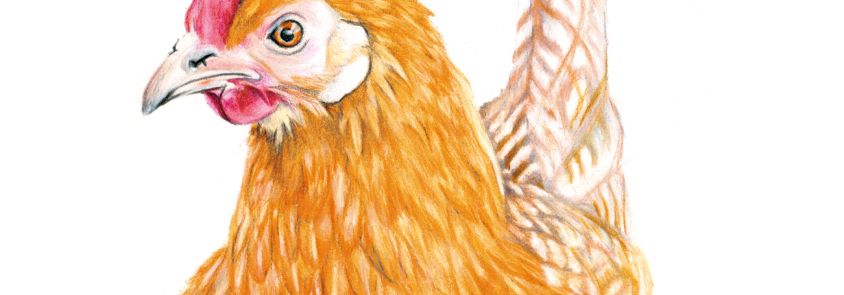 Friesian Hen