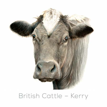 Cow – Kerry