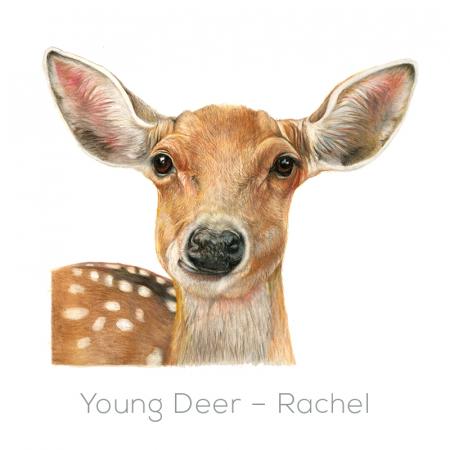 Deer – Rachel