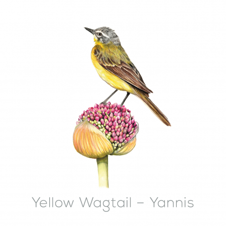 Yellow Wagtail - Yannis